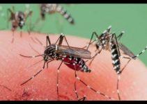 Bouton de moustique tigre photo