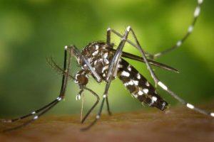 Moustique tigre photo qui pique