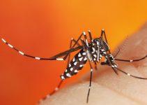 Moustique tigre virus de la dengue